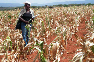 Total crop failure in Makueni County Photo:Google.com The World Food Program (WFP)has initiated a cash transfer foood aid program to cushion families in the county hit by drought.