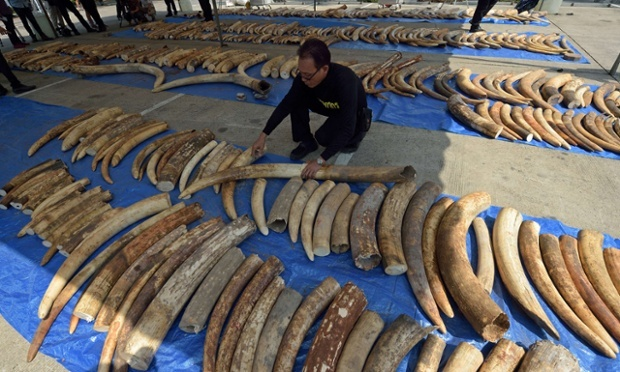 A Thai customs officials laws out the ivory seized in a container sent from Kenya bound for Laos. (photo/www.theguardian.com)