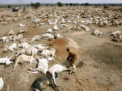 Dead goats and sheep starved to death due to drought. Photo courtesy of www.newstimeafrica.com