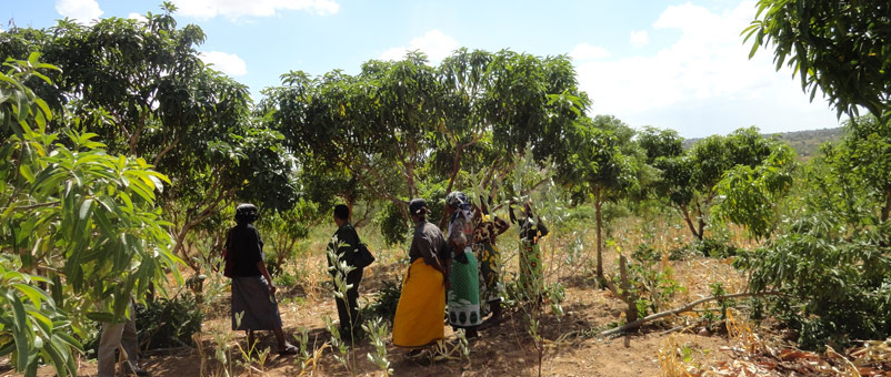 A group of farmers on a farm. Mango farming is changing their fortunes. [Photo: Malachi Motano]